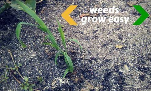 weeds growing in the dirt